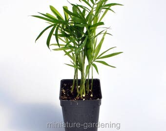 Neanthe Bella, Parlor Palm for Miniature Garden, Fairy Garden