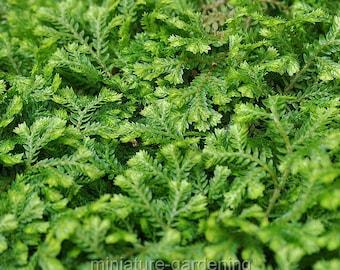 Selaginella kraussiana, Spikemoss for Miniature Garden, Fairy Garden