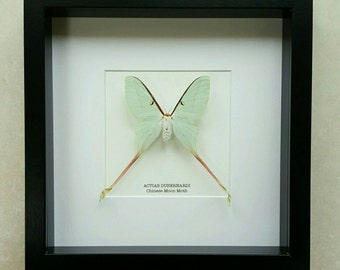 Chinese Moon Moth Frame  (Female)