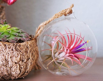 Tillandsia ionantha fuego in a glass dome, red air plant- indoor outdoor garden/house plant colorful red/terrarium accessories