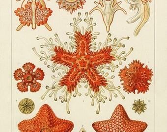 Ernst Haeckel Sea Star Poster - Vintage Ocean Art Print - Vintage Sea Star Print - Vintage Sea Star Print - Museum Quality