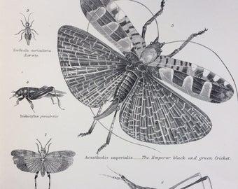1891 Orthoptera Original Antique Steel Engraving - wall decor - home decor - Lepidoptera - Entomology - Insect Art - Cricket - Grasshopper