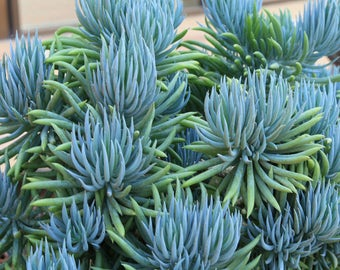 Blue Chalk Stick, Blue Stick Succulent - Senecio Mandraliscae Live Plant - 2.5 inch pot