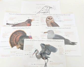 Bird anatomy posters - anatomy wall decor - parts of a bird - classroom decor - Montessori - homeschooling