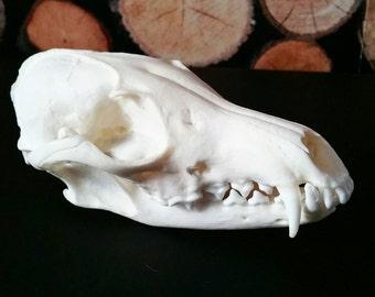 Fox skull taxidermy