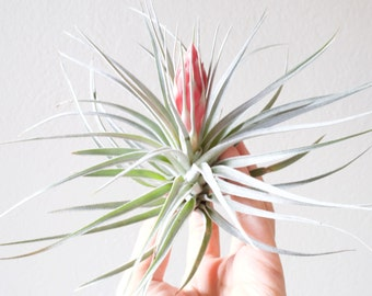 Tillandsia Houston, rare air plant