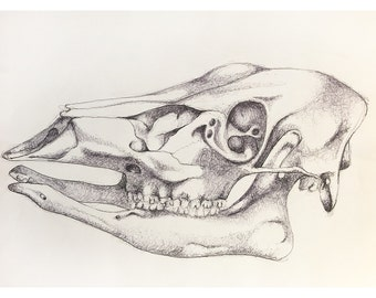 how to draw an animal skull