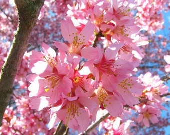 1 Okame Flowering Cherry Tre