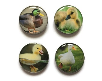 Duck magnets or duck pins, ducklings, refrigerator magnets, fridge magnets, office magnets
