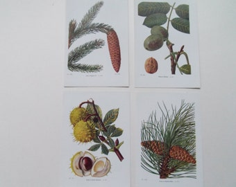 Cones and Nuts set of 4 BotanicalVintage bookplates-Horse chestnut Walnut Fir  dated 1920 17cm x 11cm