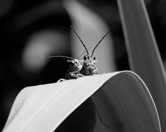 Digital Download,Monochrome Eastern Lubber Grasshopper