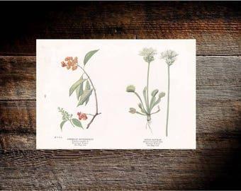 American bittersweet & Venus flytrap flower print (1924)