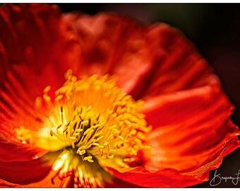 Red Poppy #2