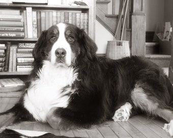 Elegant Bernese Mountain Dog