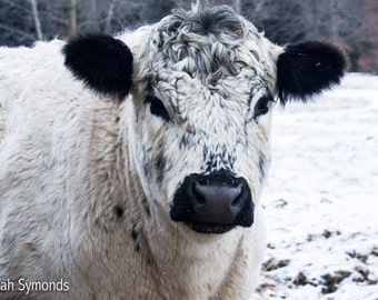 Tux the Cow Photo, Cow Photography, Fine Art Print, Farmhouse Decor, Cow Photograph, Wall Decor, Home Decor