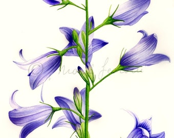 PRINTS from original watercolor-Campanula rapunculus