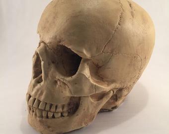 Decorative Aged Human Skull