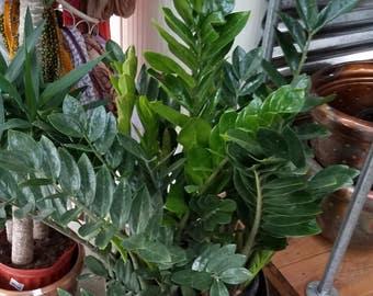 Zamioculcas Zamifolia (ZZ Plant) Cuttings (5)