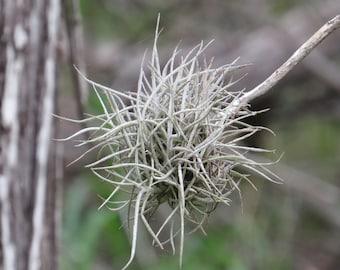 Ball Moss  Tillandsia recurvata  10 Live Plants