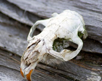 Beaver Skull