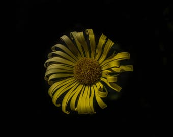 the withering yellow flower with black background, captured beautifulness