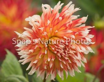 Red orange white semi cactus dahlia photo print