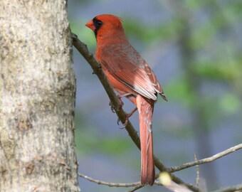 Male Cardinal #3
