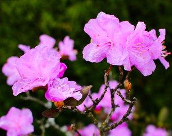 Pink Flower Photography Fine Art Print, Floral Photography, Spring Flowers Wall Art, Minimalist Home Decor, Flower Art Print, Garden Photo