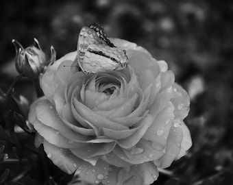 Butterfly on Rose B&W