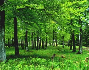"Photo poster ""Beech forest in the spring"" photo printing on Premiumfotopapier, non-fading, brilliant colors"