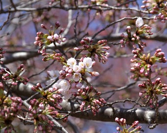 Pink Cherry Blossom, Photograph Print Flower Pink Tree Branches Spring Peaceful Zen