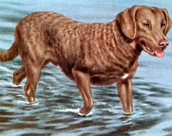 Vintage Dog Illustration Chesapeake Bay Retriever with Mat Ready to Frame