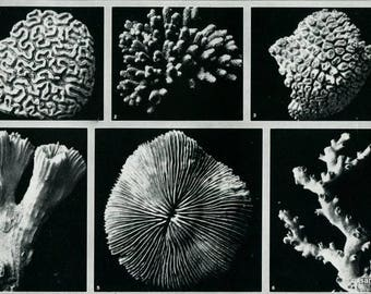 Vintage Chart of Madrepore Corals Black and White Print to Frame
