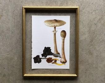 Vintage Print  - Mushroom, Truffles, Fungi, Toadstool  - Book Plate  - 1965 UNFRAMED