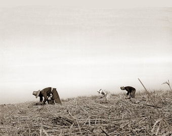 Reaping Rice, photograph taken by Lagana in 1971