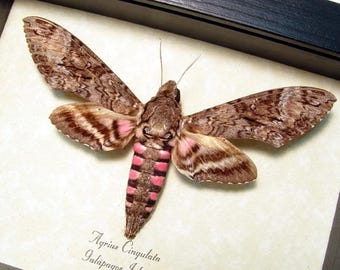 Real Framed Rare Agrius Cingulata The Pink-Spotted Hawkmoth 8461