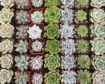 Reserved For Katelyn,  100 Succulents For Favors, DEPOSIT, Ship May 23