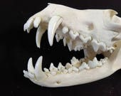 Large Red Fox Skull - real professionally cleaned skull, Grade A-, vulpes vulpes - #RFX538