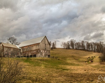 Big Barn and Angus Cows out Grazing Print