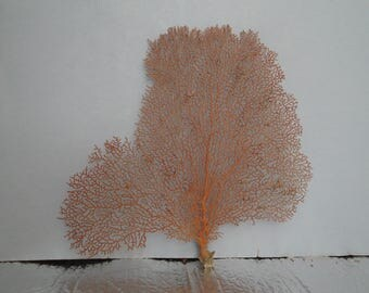 "10.2"" x 11.3"" Natural Red Color Sea Fan Seashells Reef Coral"