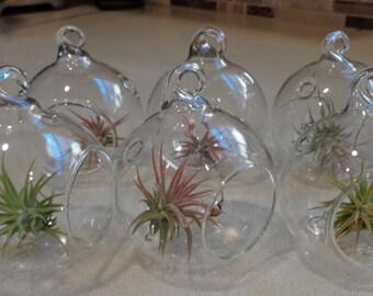 "6 Pack Mini 2"" Glass Plant Orb/Terrariums with Air Plants"