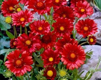 Red Gaillardia Flower Seeds - 30 seeds - LOW Shipping