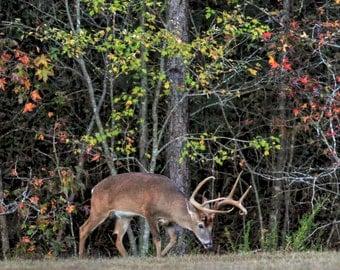 Whitetail Buck 3