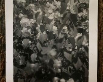 Original Vintage Photograph The Ivy