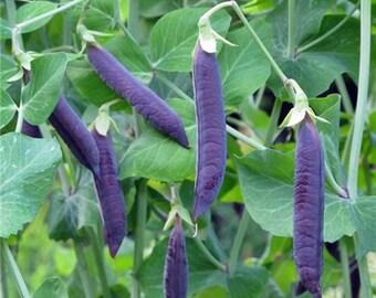 Blue Podded Blauwschokkers Heirloom Snow-Pea - Soup Pea Seeds