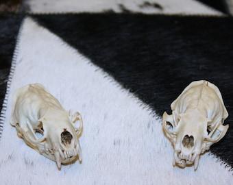 Glacier Wear Cleaned Mink Skull