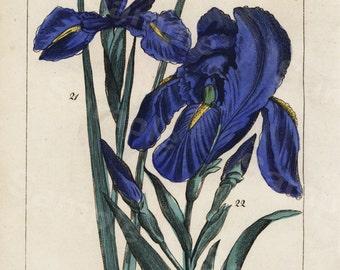 Original Antique Natural History Botanical  Blue Flowers Hand Colored Engraving