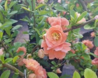 Cameo Flowering Quince ( chaenomeles ) - Live Plant - Trade Gallon Pot