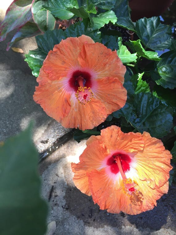 Tropical Hibiscus Orange Tropical Collection Choose One