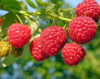 Plant a 5 Foot Row Heritage Raspberries Grow 5+ Canes - Pick Berries this Fall